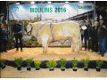 JINGLE TAUREAU CHAROLAIS CHAMPION à COURNON ET SUPER CHAMPION à MOULINS en 2016